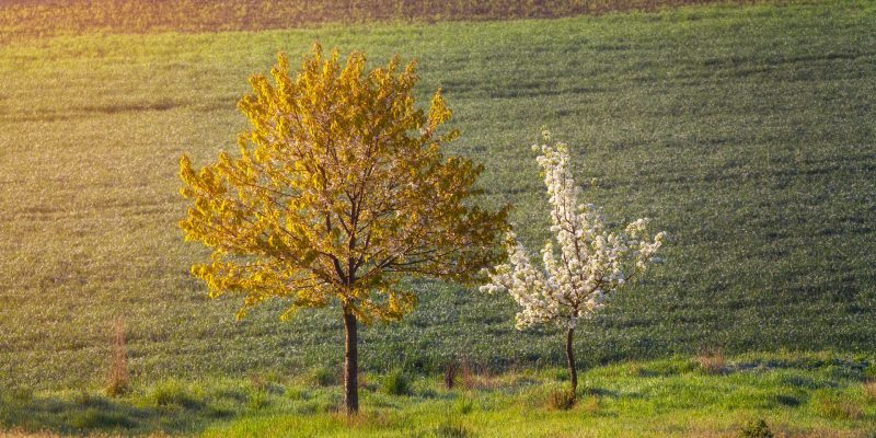 Blooming trees with flowers on the background of field at sunset. Spring landscape with woods, green grass and yellow sunlight. Natural background. Two trees on the meadow in the evening